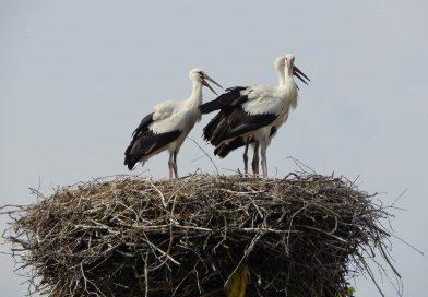Пет пъти повече бебета има в селото, осиновило 16 щъркелови гнезда
